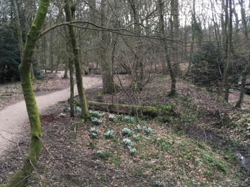 Snow Drops dotted along the woodland walks
