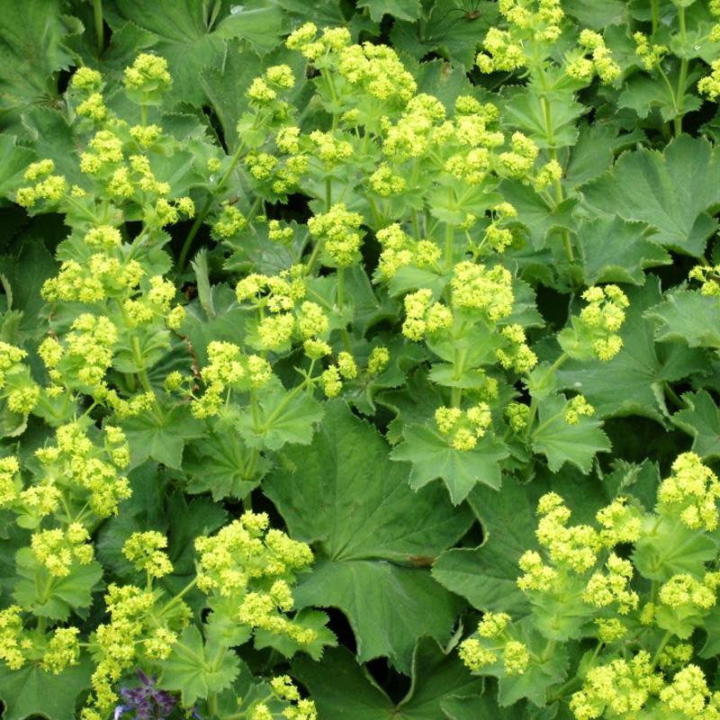 Alchemilia-vulgaris-(Ladys-Mantle)