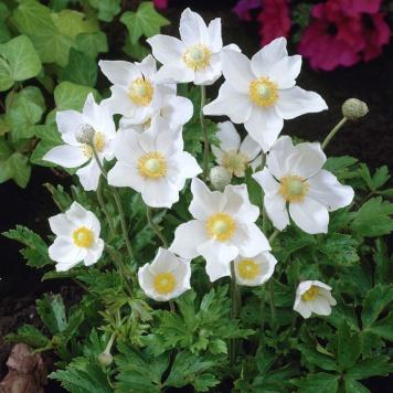 Anemone-sylvestris-(Snowdrop-windflower)