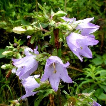 Campanula-trachelium-(Nettle-leaved-bellflower)
