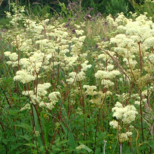 Filipendula-ulmaria-(Meadowsweet)