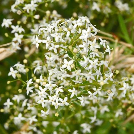 Galium-mollugo-(Hedge-bedstraw)