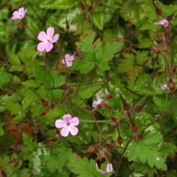 Geranium-robertianum-(Herb-robert)