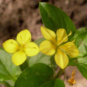 Lysimchia-nemorum-(Wood-pimpernel)
