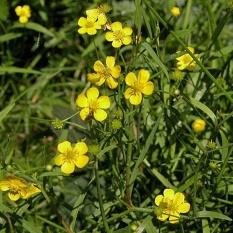 Ranunculus-flammula-(Lesser-spearwort)