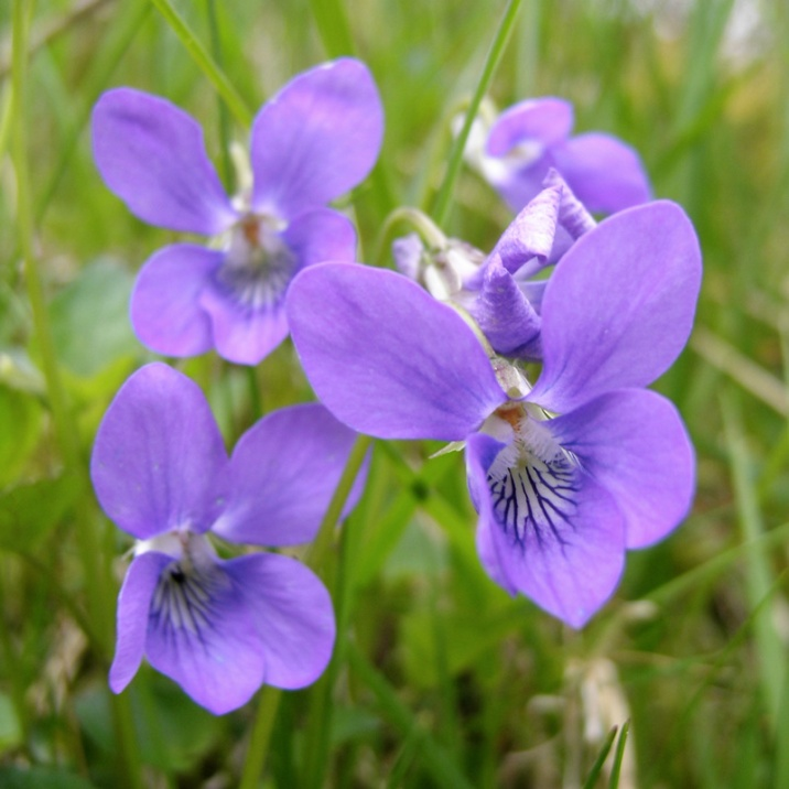 Viola-riviniana-(Dog-violet)