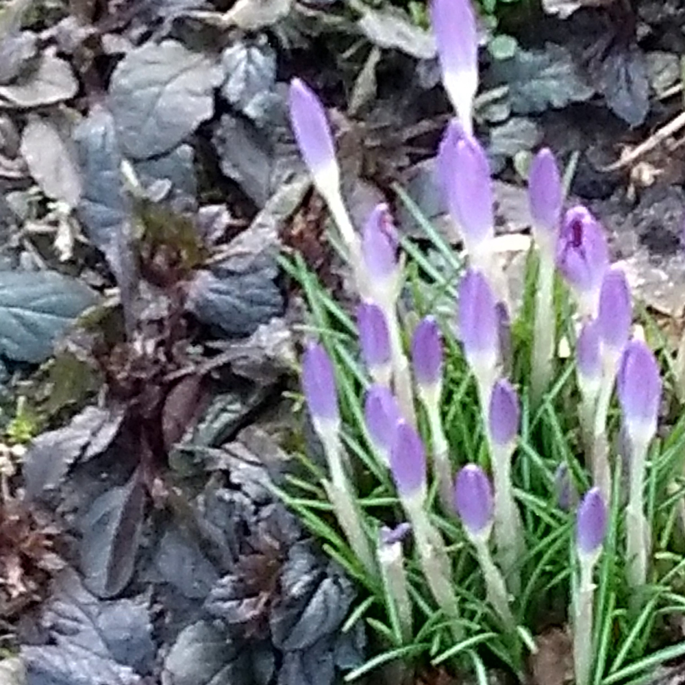 Crocus and Ajuga