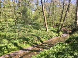 Bluebells along the banks of the River Chor