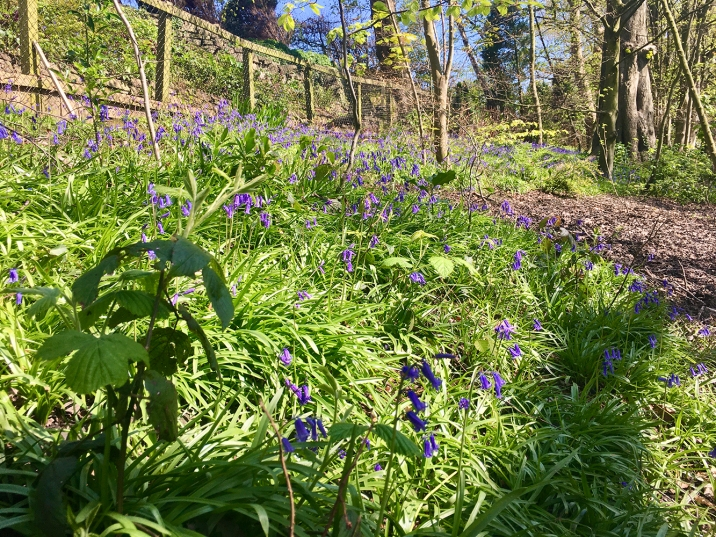 Bluebells towards Park Road