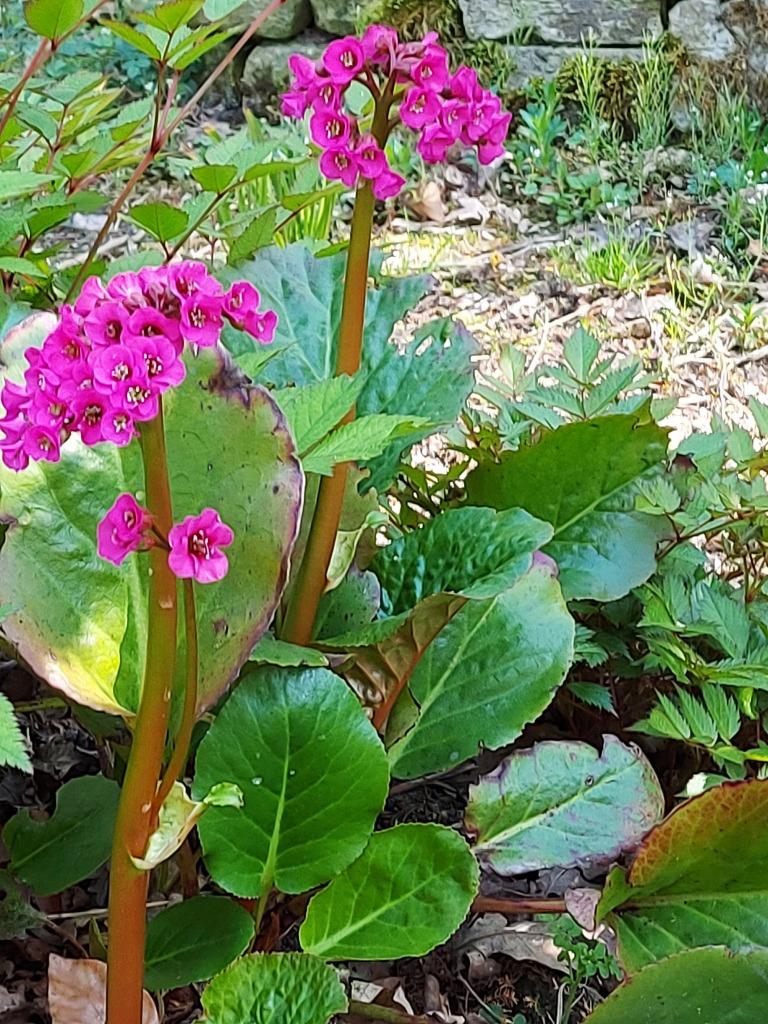 BERGINIA cordifolia 'Purpurea'