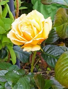 Rose Amber Queen